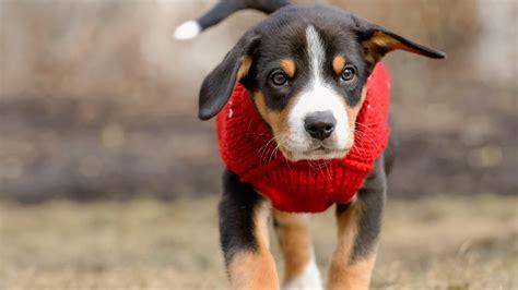wallpaper breed dog clothes hd animals