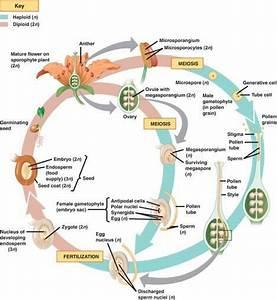 Angiosperm Life Cycle Masteringbiology