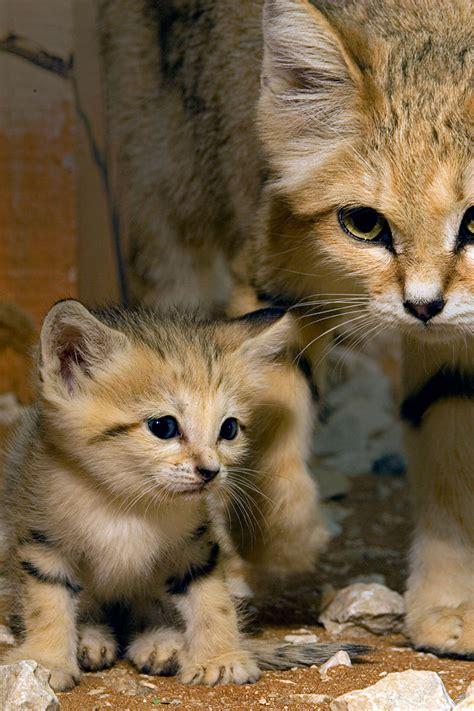 sand cat for arabian sand cat rzss