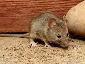 Unterschied Maus Ratte : my domov naturfoto ~ Lizthompson.info Haus und Dekorationen