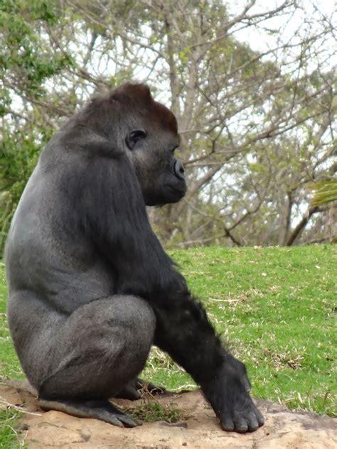 zoo werribee gorilla focus range open