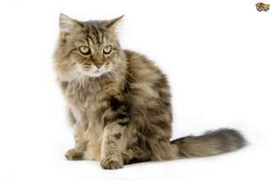 cat breed the top 8 largest domestic cat breeds pets4homes