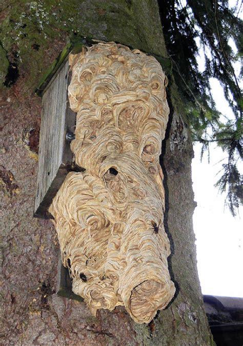 hornissen haben nistkasten erobert rickenbach badische