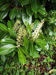 Cherry Laurel Evergreen Shrubs