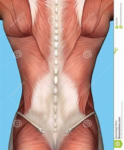 Muscle Anatomy Of Male Back  Stock Illustration