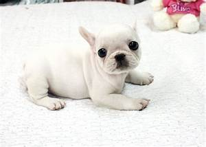 teacup french bulldog..so cute | The Cutest Thing | Pinterest