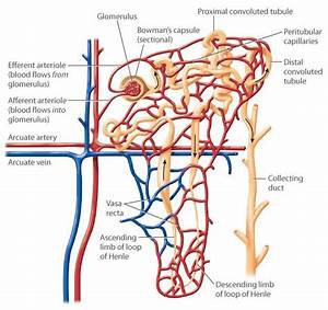 A Diagram Of The Structure Of A Nephron  The Efferent