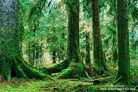 Hoh Rain Forest in Olympic National Park, prints, photos ...