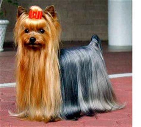 do yorkies shed hair terrier grooming