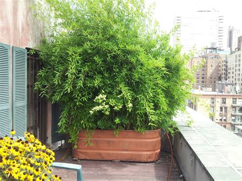 growing bamboo in container space gardening space gardening