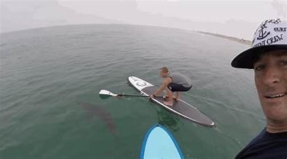 Shark Sharks Gifs California Paddleboard Paddlers Animated