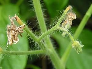 Tomaten Blätter Gelb : sch dlinge im nutzgarten ~ Frokenaadalensverden.com Haus und Dekorationen