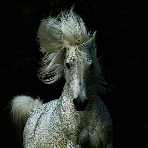 andalusian horse arab animals friends