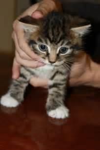 cheap kitten for brandon suffolk pets4homes
