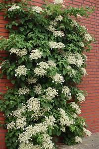 Pflanzen Für Schattengarten : hydrangea anomala kletterhortensie schatten kletterpflanze pflanzen f r ost terrasse ~ Sanjose-hotels-ca.com Haus und Dekorationen