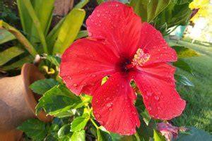 hibiskus hecke schneiden hibiskus richtig schneiden