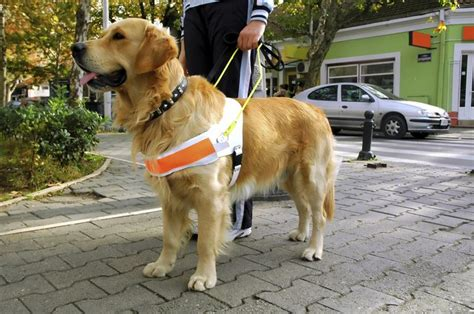 How Can Guide Dogs Help Blind People?