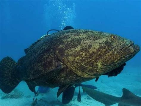 goliath grouper groupers abcactionnews