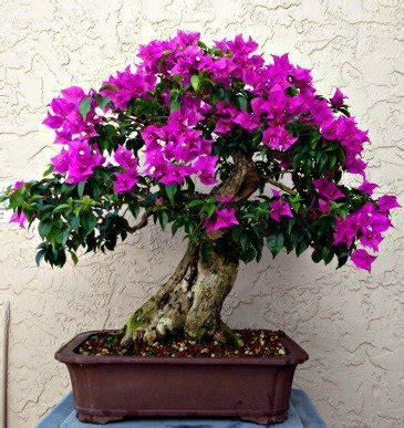 bonsai bougainvillea care