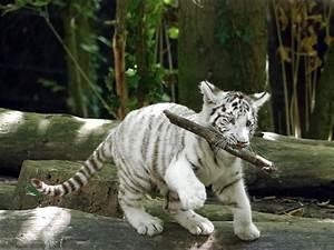 Jeune Tigre Blanc  Zoo