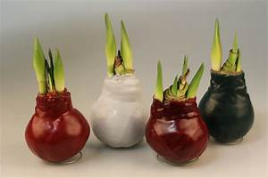 Amaryllis In Wachs : neues vom ritterstern der amaryllis schwabach meier ~ Lizthompson.info Haus und Dekorationen