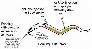 RNA interference in nematodes and the chance that favored ...