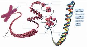 Solved  Label Each Level Of Dna Packaging In The Eukaryoti