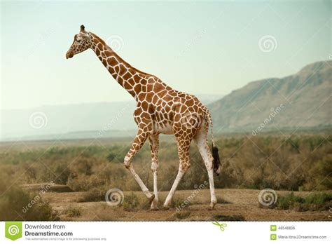 Giraffe Walking In Desert Stock Photo. Image Of Reserve