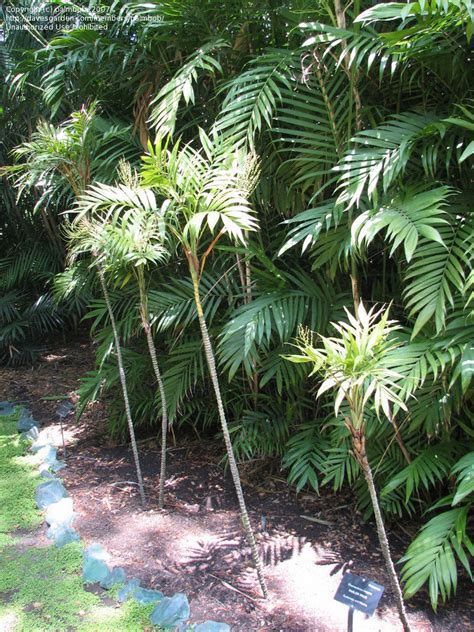 plantfiles pictures chamaedorea species parlor palm