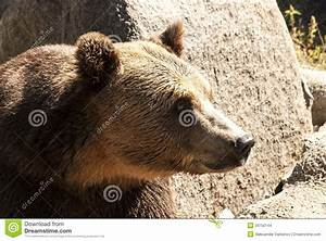 Grizzly Bear Head Right Profile Stock Images - Image: 26750144