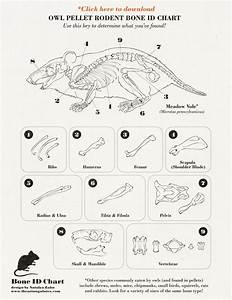 Owl Pellet Rodent Id Chart  Meadow Vole Anatomy
