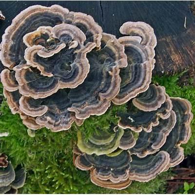 Fungus Gallery :: Trametes F30A0400