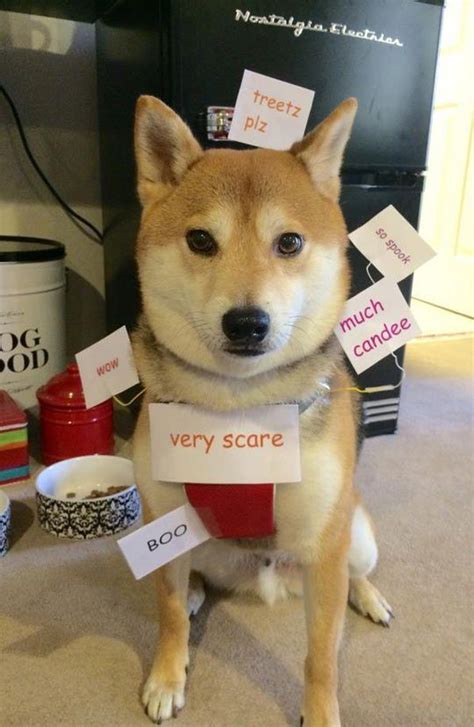 Doge Meme Shiba - real life doge meme this is totally what we should have done with our shiba for halloween