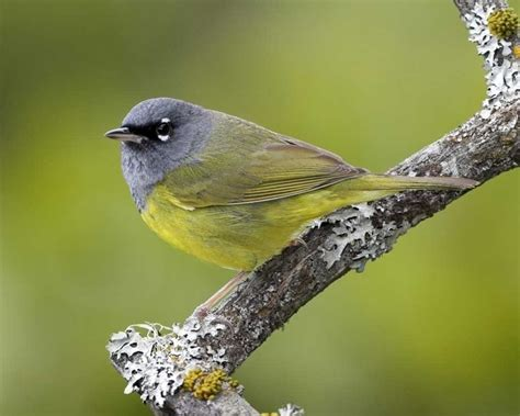 75 best western birds i d like on the life list images on