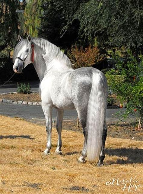 andalusian horse horses pre lusitano grey stallion friesian caballos most raza pretty spanish animals caballo pura majestic andalusians fugitivo xii
