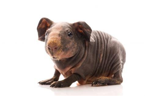 hairless guinea pig skinny pig