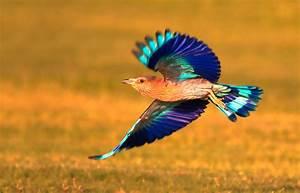 Indian Roller Bird  Bird