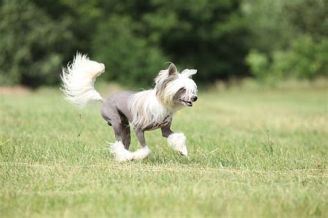what dogs don t shed 10 breeds that will scorn your duster