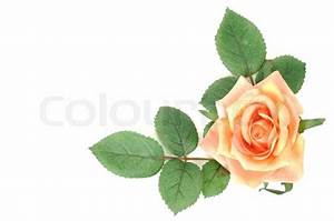 Yellow rose with leaves on a white background Stock