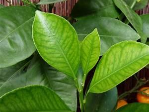 Schädlinge Zimmerpflanzen Klebrige Blätter : zitruspflanzen krankheiten und sch dlinge ~ Lizthompson.info Haus und Dekorationen