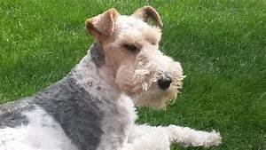Wire Haired Fox Terrier - male neutered | Stevenage ...