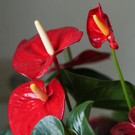 plante interieur mi ombre plante fleurie d int 233 rieur liste ooreka
