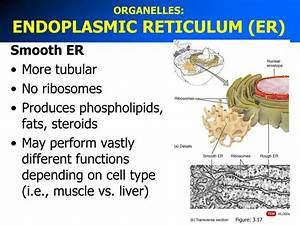 Ppt - Organelles  Centrosome Powerpoint Presentation