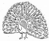 Peacock Coloring Pages Drawing Realistic Printable Open Male Outline Colour Bird Adult Simple Line Kid Peafowl Animal Plumage Cartoon Its sketch template
