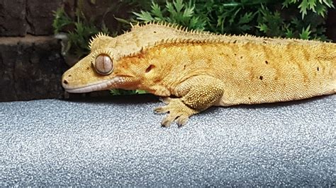 Crested Gecko Shedding Signs by Crested Gecko Harlow Essex Pets4homes