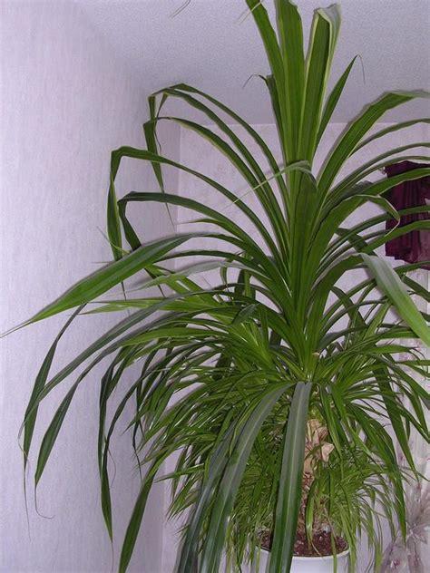 Zimmerpflanzen Portraet Schraubenbaum by Zimmerpflanzen In Berlin Pflanzen Kaufen Und Verkaufen