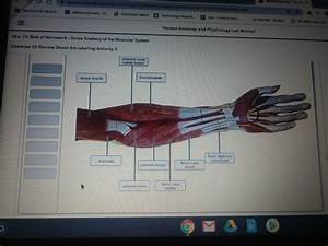 Exercise 13 Review Sheet Gross Anatomy Of The Muscular