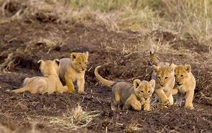 Wildography & Safaris » Blog Archive Lion, cheetah and ...