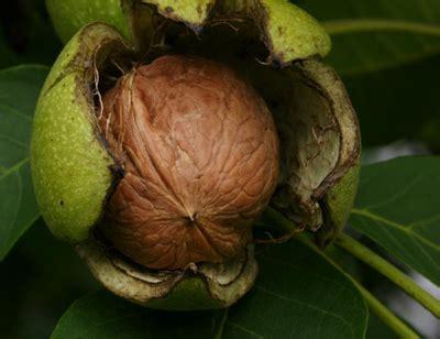 fiori di bach in menopausa fiori di bach in menopausa walnut menopausa