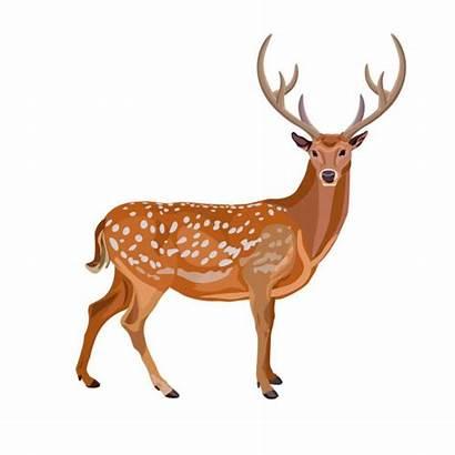 Deer Buck Clipart Cartoon Whitetail Fallow Damhirsch